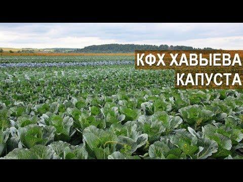 ГИБРИДЫ КАПУСТЫ. Летний день поля-2018. КФХ Алмаза Хавыева