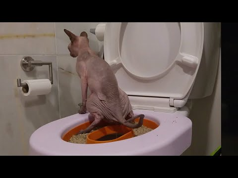 Cute sphynx cat use human toilet / DonSphynx