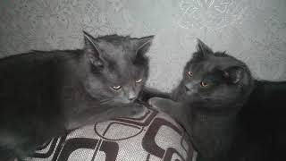 Кошки делят место спать  на подушке ( мать и дочь)