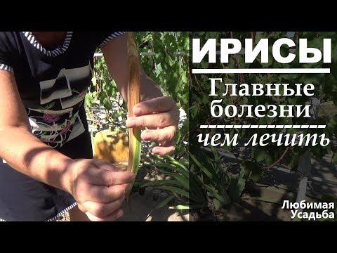 Вопрос: Существуют ли ирисы с пестрыми листьями?