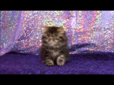 Brown Tabby male, Persian kitten
