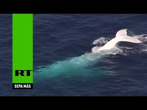 La ballena blanca Moby Dick existe y surca las aguas de Australia