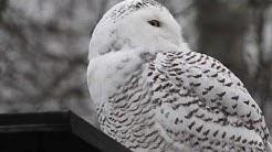 Snowy Owl, Tunturipöllö, Bubo scandiacus, Harfang des neiges, Schnee-Eule, Fjälluggla