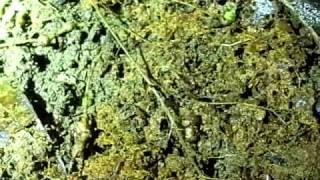 枯れ葉を食べるヨコエビ