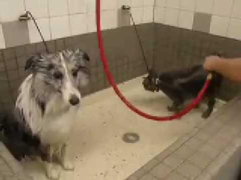 Manx taking a bath with sheltie