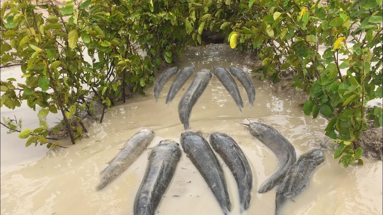 Smart Man Make Classic Fish Trap With Trees And Deep Hole To fishig - Making Classic Fish Trap