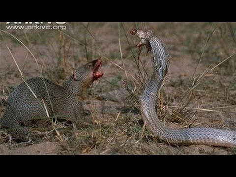King Cobra Attacking Baby - #traffic-club