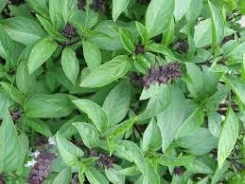 How To Collect Basil Seeds From Its Plant मर य क ब ज सब ज ब ज Pruning Of Chia Seeds Youtube