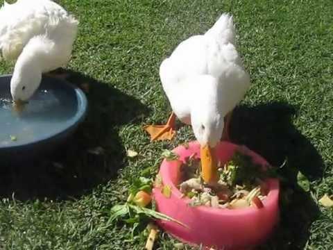 Patos comiendo - YouTube