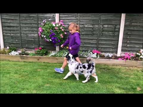 Saffy Miniature American Shepherd Training Video