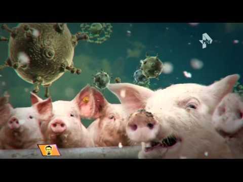 Свиной грипп увеличивает география своего распространения