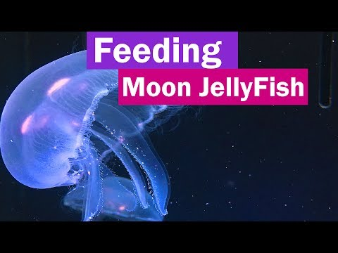 Feeding Moon Jellyfish And The Easiest Way To Hatching Brine Shrimp Eggs