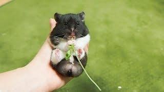 へそ天で豆苗を食べるハムスターが可愛すぎる!おもしろ可愛いハムスターFunny Hamster who eat grass with their belly upwards are too cute!