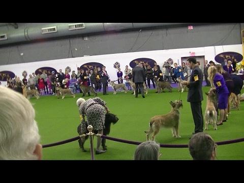 Berger Picard Westminster dog show 2017