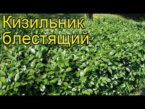 Кизильник блестящий. Краткий обзор, описание характеристик cotoneaster lucidus