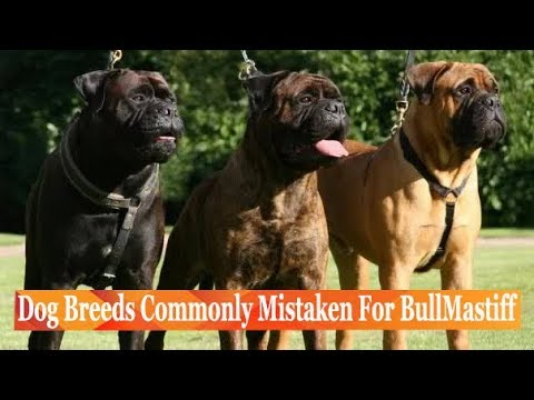 Dog Breeds Commonly Mistaken For BullMastiff