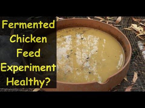 Fermenting Chicken Feed for Better Health & Eating Experiment