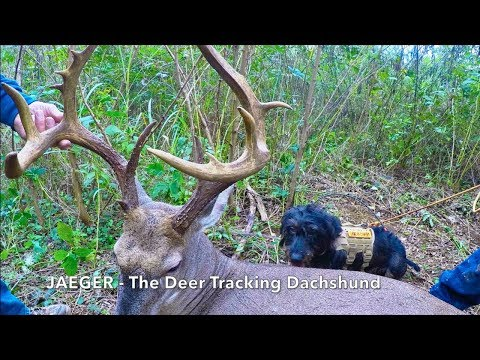 Jaeger - The Deer Tracking Dachshund.
