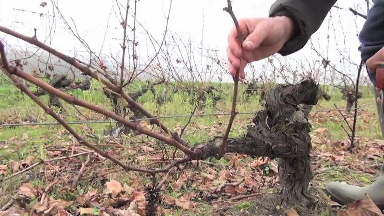 Taille de la vigne apres le gel taille courte youtube - Comment tailler la vigne ...