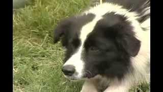 Adestramento de cães da raça Border Collie