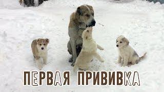 Первая прививка щенков