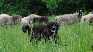 Щенки Монгольской овчарки пасут овец
