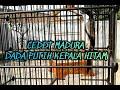 Cendet Madura Isian Gambusan Kenari Gerejaa Gaya Kanan Kiri Okeyy  Mp3 - Mp4 Download