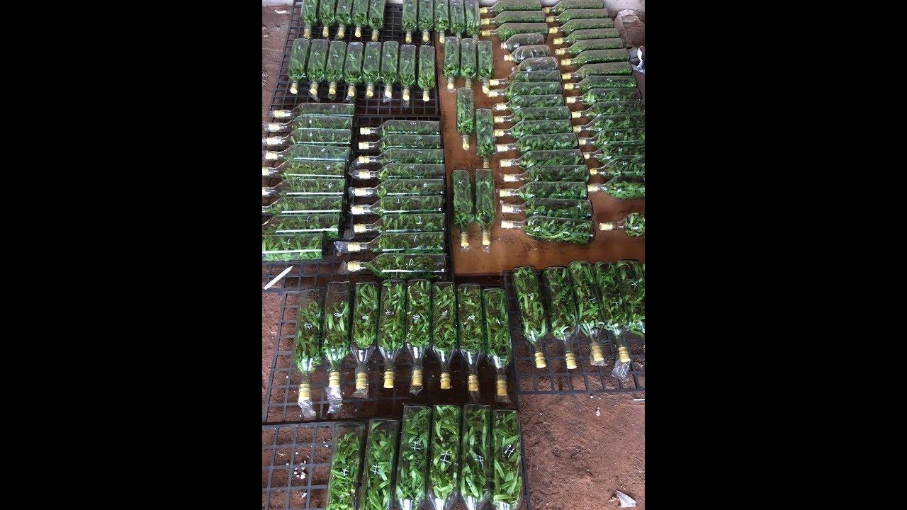 Lan ngọc điểm cấy mô – Chai mô lan ngọc điểm hoa lan 268 – Vườn lan Thành Nguyễn