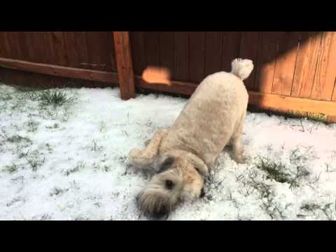Soft-coated Wheaten Terrier playing in hail