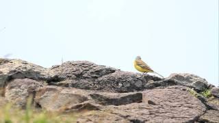 ♪鳥くんの野鳥動画~マミジロツメナガセキレイ'Yellow Wagtal'M.f.simillima