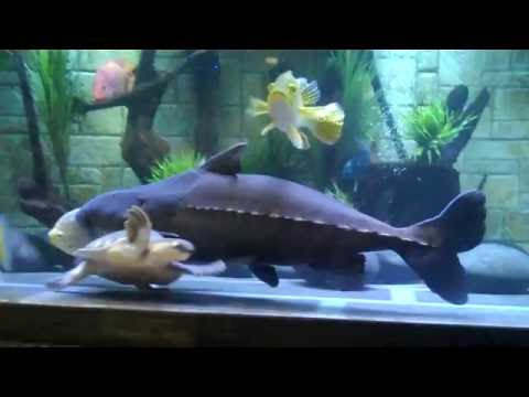 Niger Catfish from YouTube · High Definition · Duration:  43 seconds  · 390 views · uploaded on 7/17/2013 · uploaded by Alex Jackson