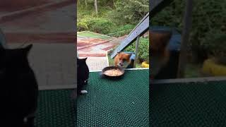 кошка против лисы