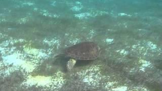 Tartarughe Tobago Cays Caraibi