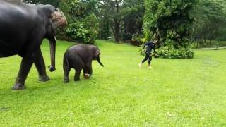 Baby elephant imitates man sliding in the rain
