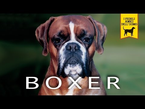 BOXER trailer documentario (razza canina)