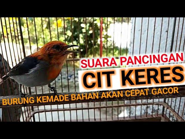 Download Suara Burung Bancit Mp3 Mp4 3gp Flv Download Lagu Mp3 Gratis