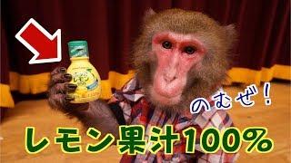 ポッカレモン原液は、お猿さんにとってもやっぱり酸っぱい?
