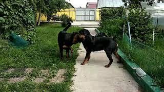 ДАЧНАЯ ЖИЗНЬ ДВУХ РОТВЕЙЛЕРОВ И КОТА.Воспитание и дрессировка собаки