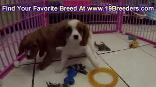 Cavalier King Charles Spaniel, Puppies, For, Sale, In, Baton Rouge, Louisiana, La, Minden, West Monr