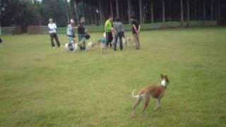 御殿場方面で行われた ドッグタイムレース&ウィペット限定戦 拙宅犬ば...