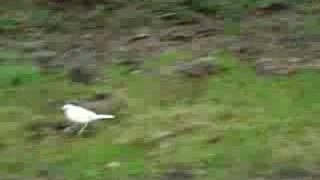 Leucistic Blackbird, Rufford Country Park, Nottinghamshire