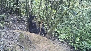 Video Upside down hanging chimpanzee in the Issa Valley (UPP/MPI-EVA) download MP3, 3GP, MP4, WEBM, AVI, FLV November 2017