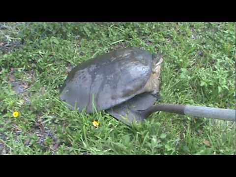 Svae the big turle to the river