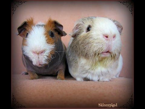 Bonding Guinea Pigs: Proper Introduction Tips
