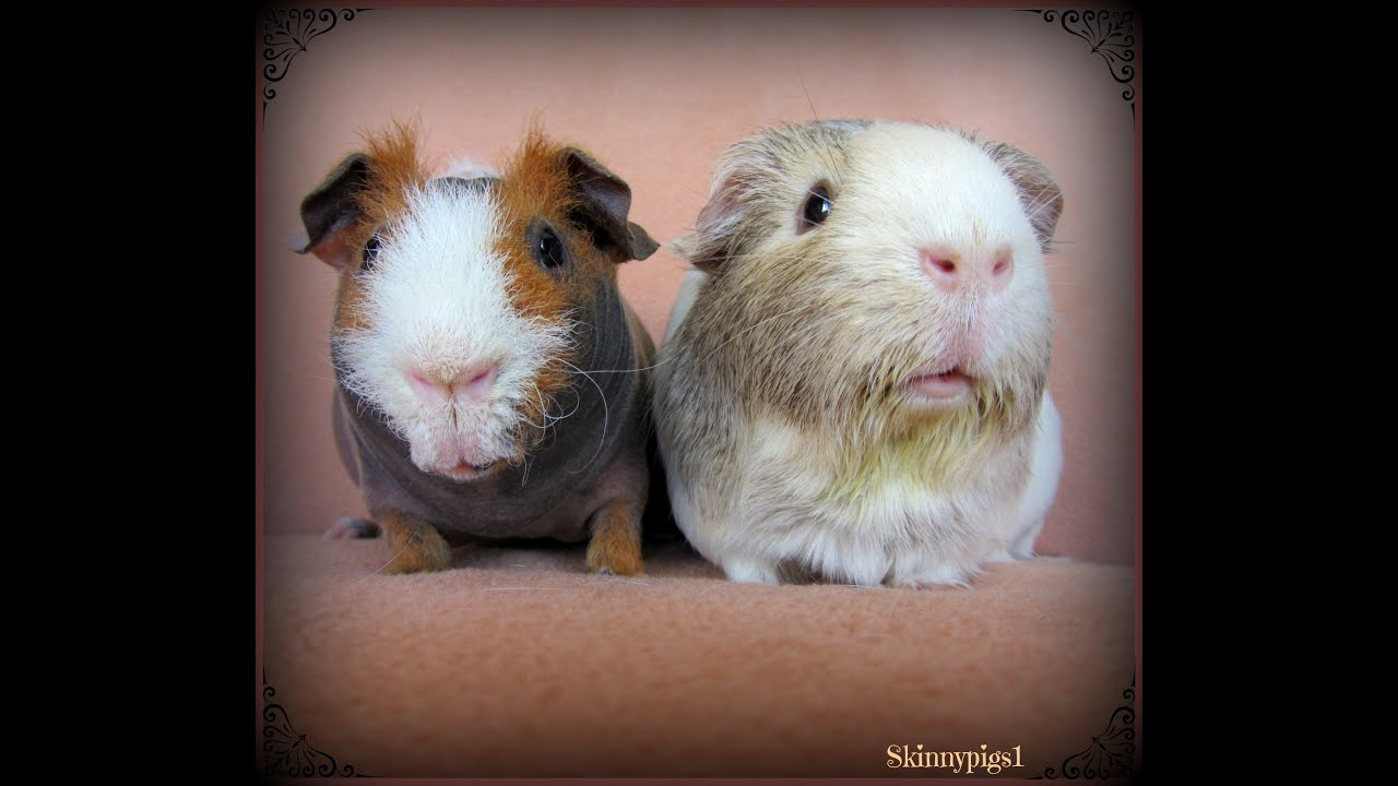 Discussion on this topic: How to Introduce Your Guinea Pig to , how-to-introduce-your-guinea-pig-to/