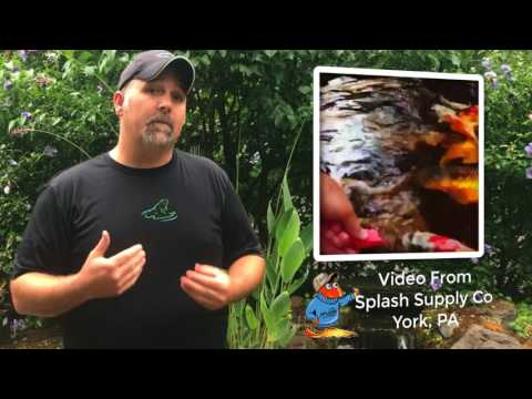 The Weekly Ribbit #54: How Can I Get My Koi To Eat Out Of My Hands?