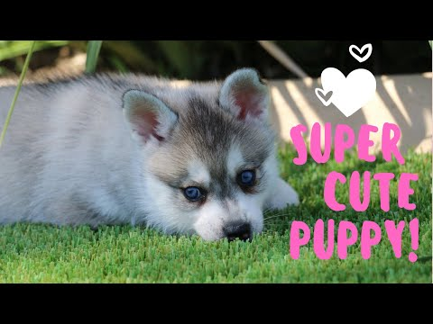 Super Cute alaskan klee kai Puppy! AWW Mini Husky