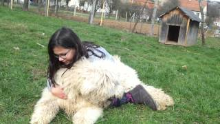 Girl And Dog Fight-hungarian Komondor