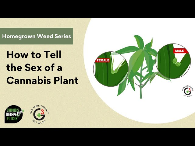 How To Tell The Sex Of A Cannabis Plant
