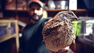 Will It Be Enough?  Raising Quail.